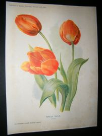 Amateur Gardening 1902 Botanical Print. Single Tulip